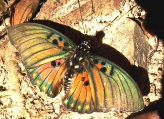 Vele vlinders in Ghana